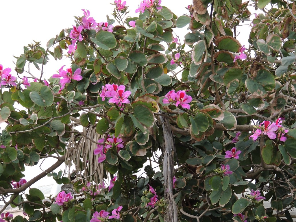 Hong Kong Orchid Tree In South Texas Orchids On A Tree In Flickr
