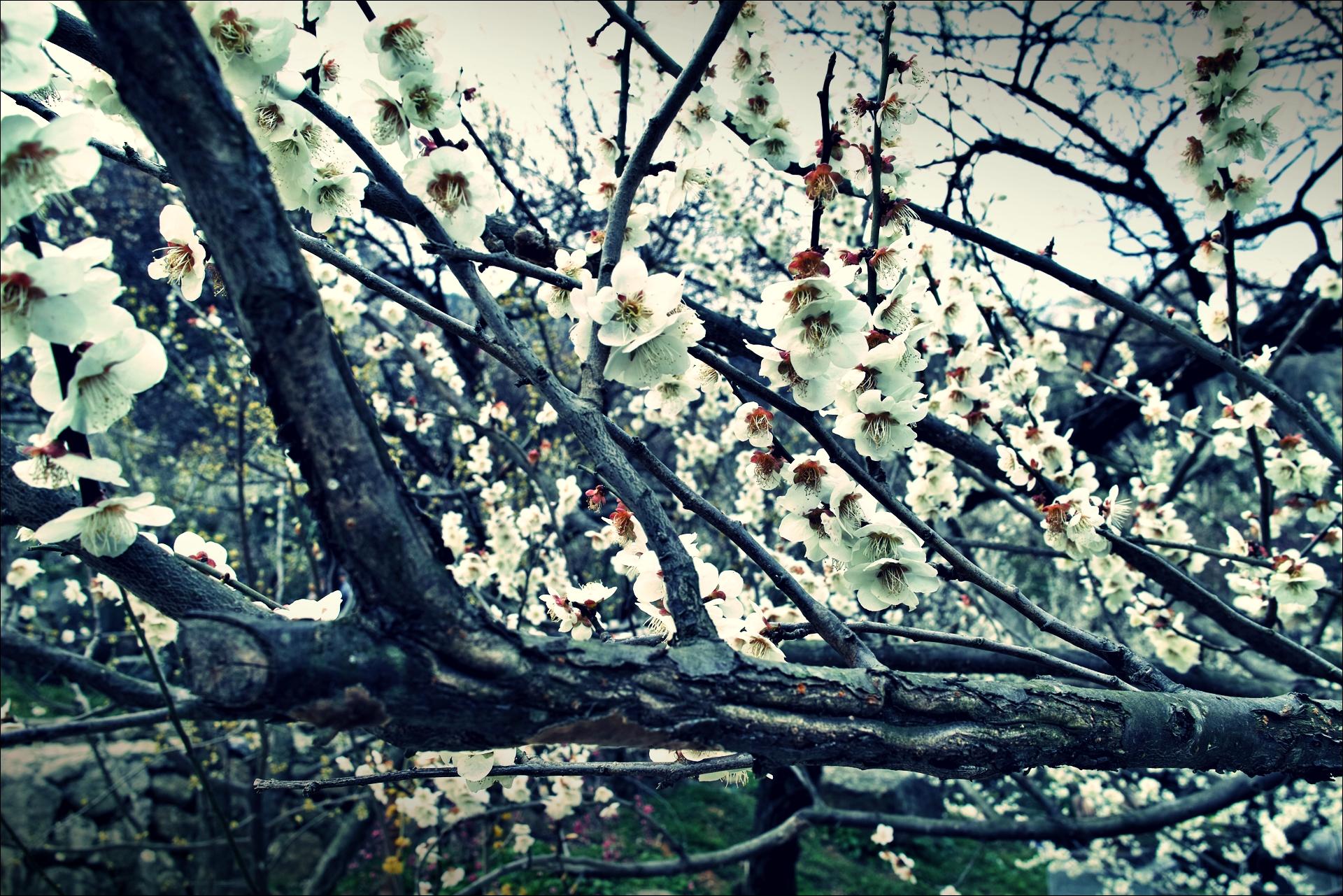 홍쌍리 매실마을 매화축제 apricot blossom festival-'백매화'