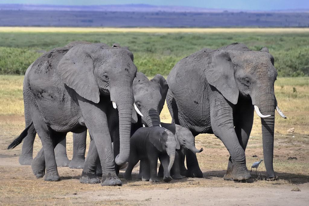Free elephant list