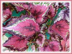 Colourful Rex Begonia, 9 Dec. 2011