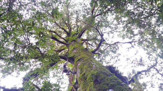 「其實我懼高,就算確定繩索OK系統安全,一切沒問題,腳一離地飄起來,每次都感到害怕,每一步都要壓抑恐懼,但還是要爬。讚嘆又敬畏,隨便一棵大樹便如此巨大,置身其中,一切是這麼渺小的神奇。」陳雅得坦言,圖中人物為其友人。圖片來源:陳雅得。