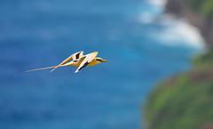 Golden Bosun Bird 3