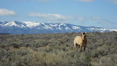 CONTEST WINNER: Wild Horse in the Applegate Field Office.