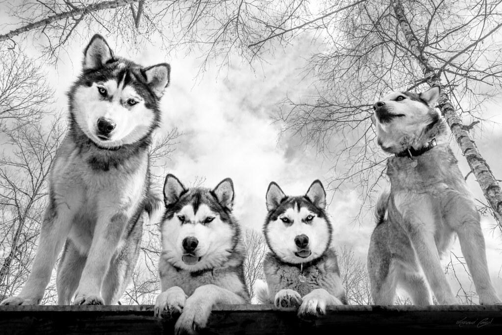 My Dogs Siberian Husky X Alaskan Malamute My Favorite Sp Flickr