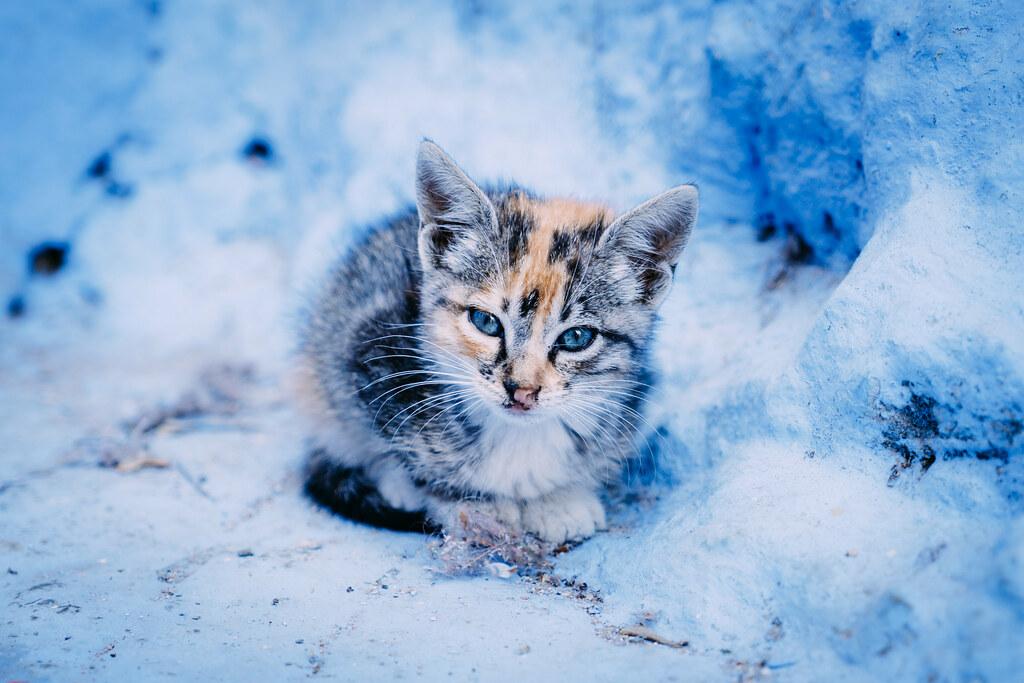 chefchaouen cat   4
