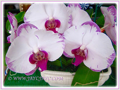 Beautiful White and Pink Phalaenopsis Orchid seen at a garden nursery, 4th Feb. 2016
