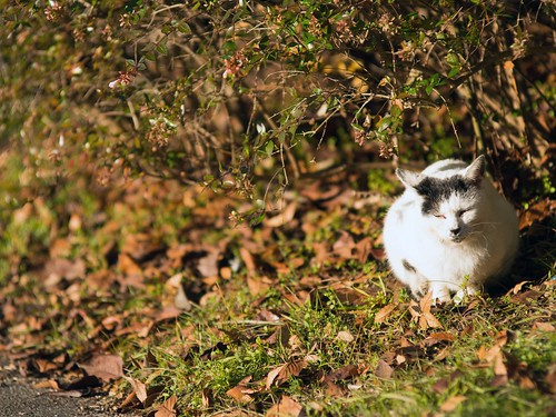 A cat in Mejo park 2014.12 No.1. | by HIDE@Verdad