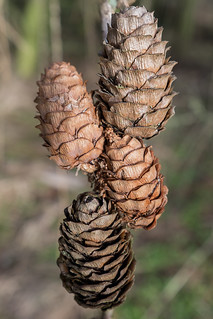 cones | temple newsam | by John FotoHouse