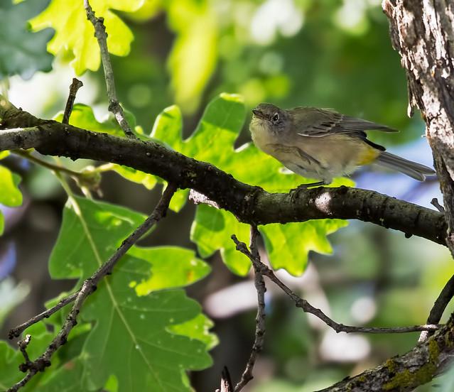 Yellow-rumped-Warbler-7-7D2-100816