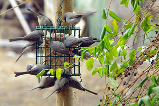 Bushtits feeding on suet; Albuquerque, New Mexico | by cbrozek21