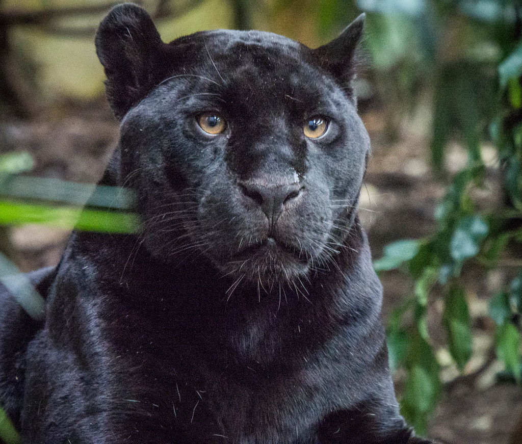 Goshi The Black Panther Chester Zoo Olympus Digital Camer Flickr