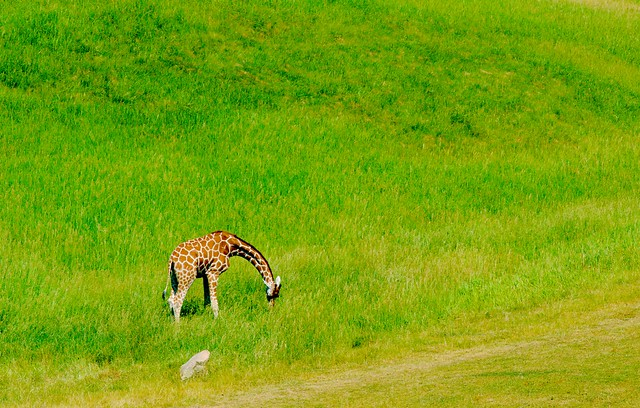 Giraffe_4