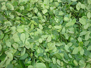 Moringa Leaves | by treesforlifeinternational