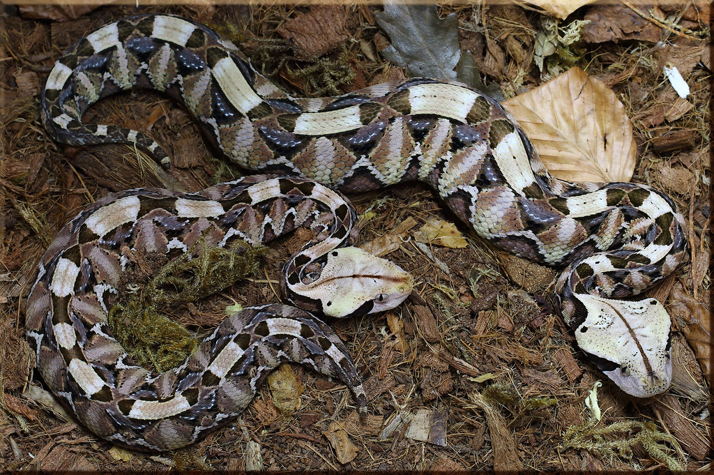 Gaboon Vipers | The species is also commonly known as ...