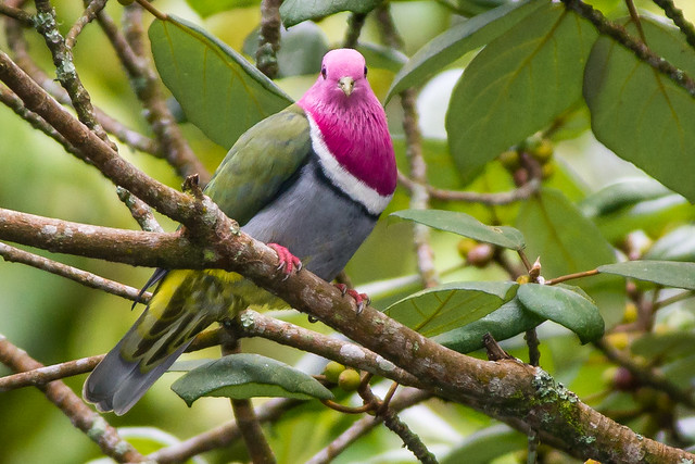 Walik kepala-ungu (Ptilinopus porphyreus)
