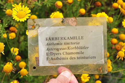 Gartenreise im Hochsommer 2016. Ziel ist der Kräutergarten auf dem Klostergelände in Lorsch. Fotografiert wurden dieses Mal die folgenden Pflanzen: Wilde Karde - Schlehe/Schwarzdorn - Römische Kamille - Quitte - Kornelkirsche - Großblütige Königskerze - Wegwarte/Zichorie - Färberwaid - Färberkamille - Gewürzlorbeer - Feige - Beinwell - Artischocke ... sowie viele Insekten und Krabbeltierchen. - Fotos und Collagen: Brigitte Stolle 2016