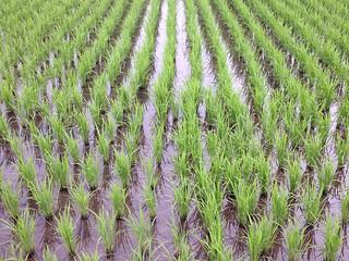 水稻田為美濃秋冬里打好基礎。攝影:廖靜蕙