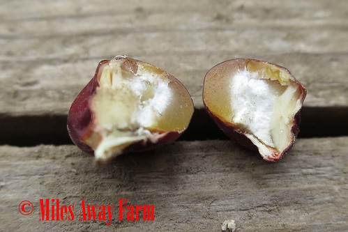 Cascade Ruby Gold Flint Corn