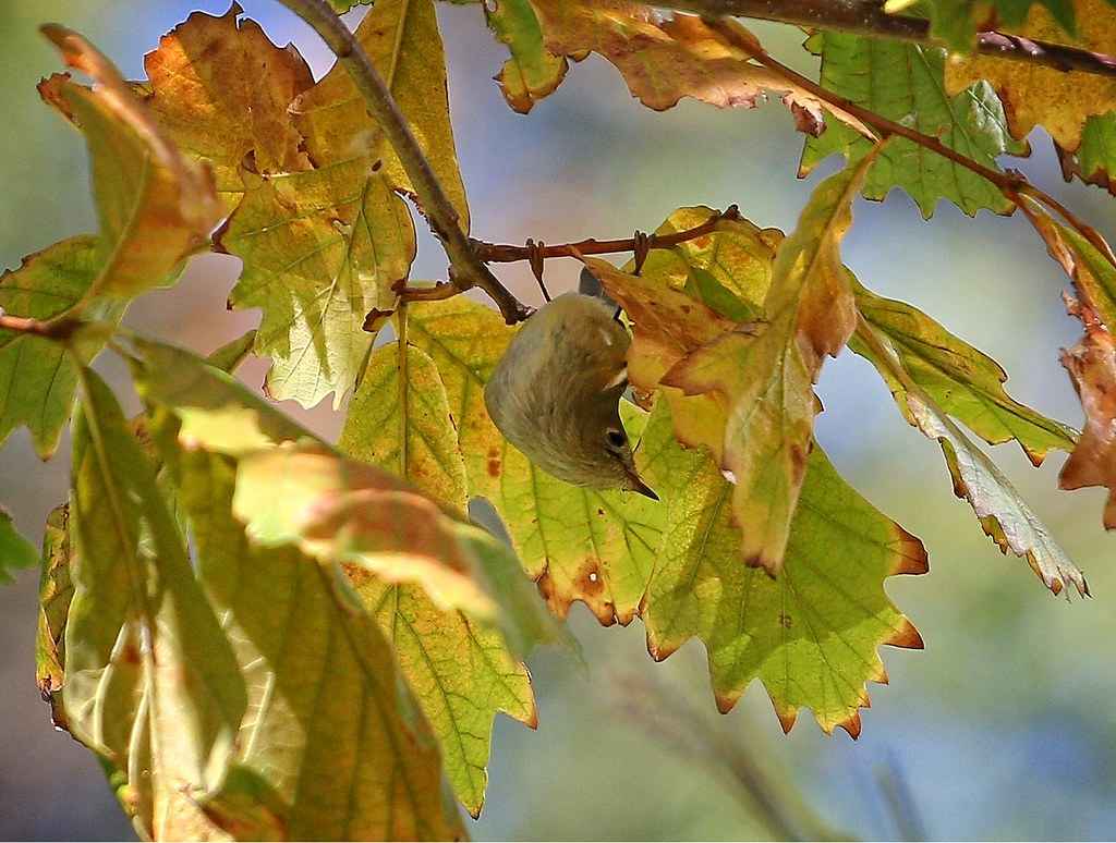 Ruby-crowned kinglet hunting for bugs
