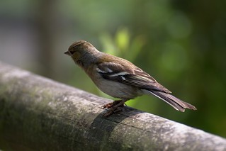 Chaffinch | by FurLined