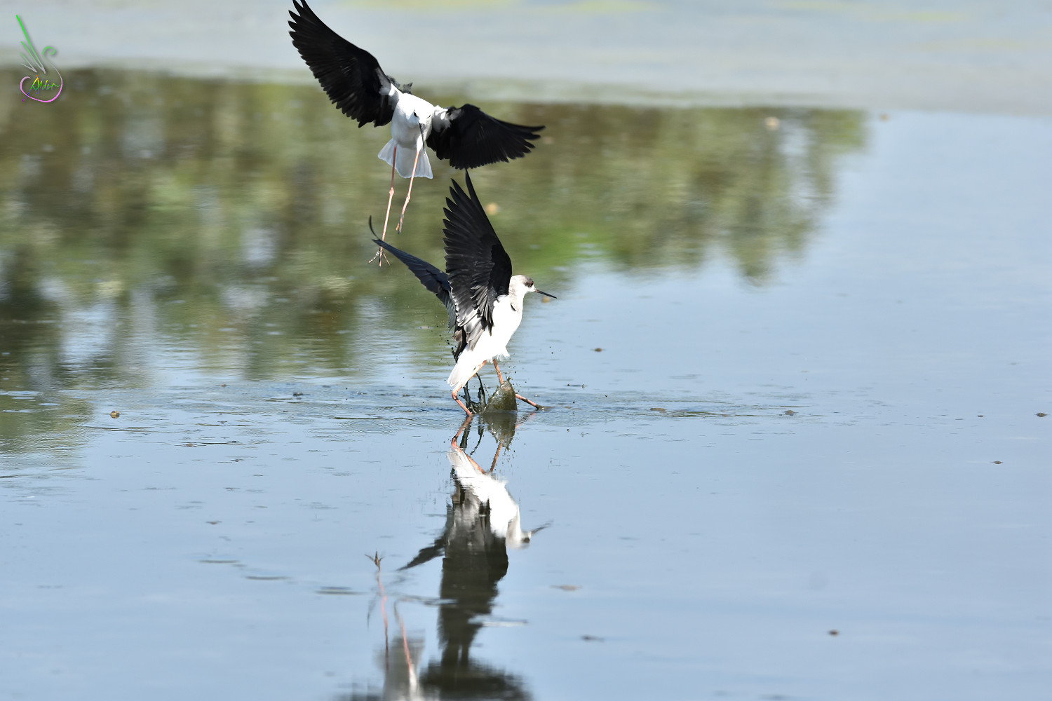 Black-winged_Stilt_1433
