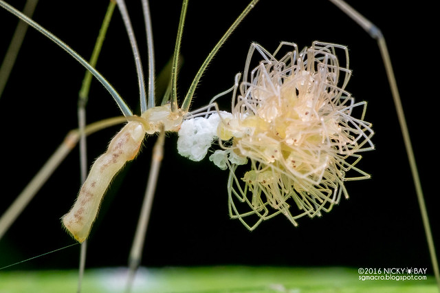 Daddy-long-legs spider (Pholcidae) - PA130283