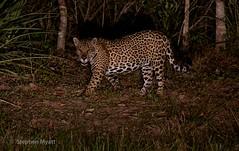 What's New Pussycat? South Pantanal, Brazil.