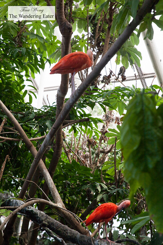 Pink ibises