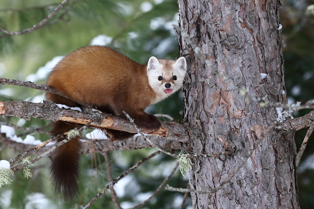 pine marten algonquin park martens prefer old coniferous flickr. Black Bedroom Furniture Sets. Home Design Ideas