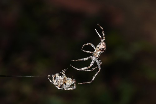 garden spider mating ritual pic    picture