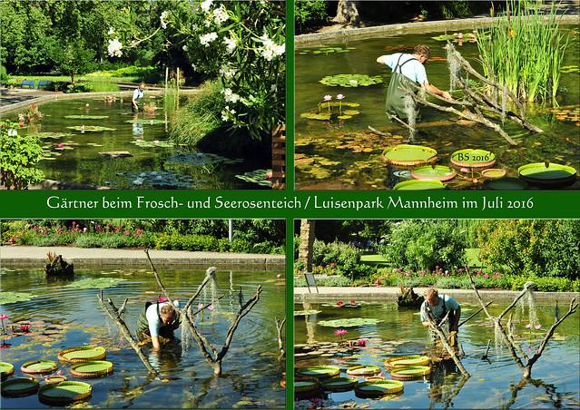 Luisenpark Mannheim, Juli 2016 ... Pflanzenschauhaus ... Seerosenteich Froschteich: Gärtner, Gärtnerarbeiten - Fotos und Collagen: Brigitte Stolle 2016