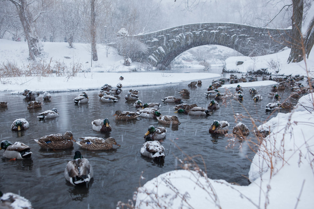 symbols in the catcher in the rye lessons teach ducks in central park blizzard of 2015 flickr photo sharing