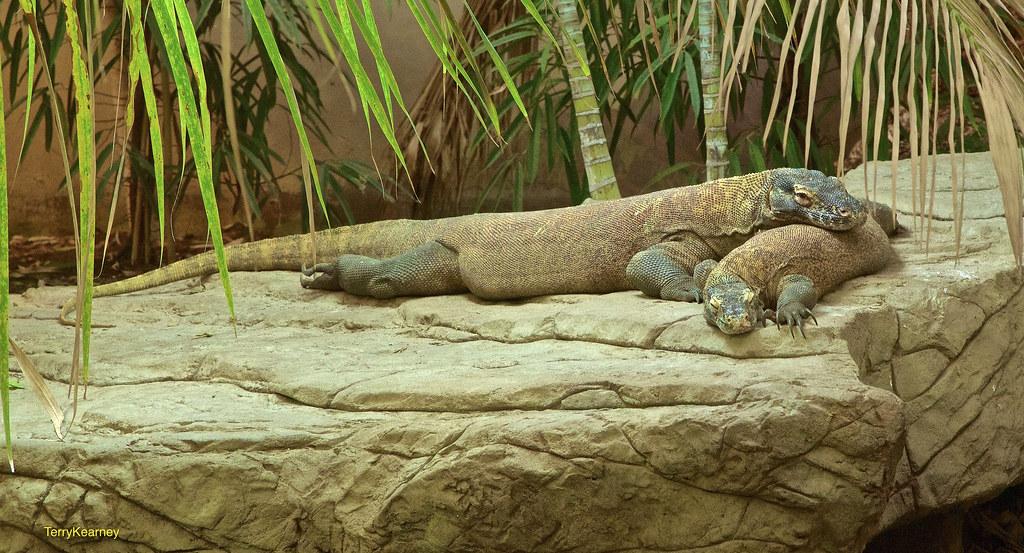 Komodo dragon diet
