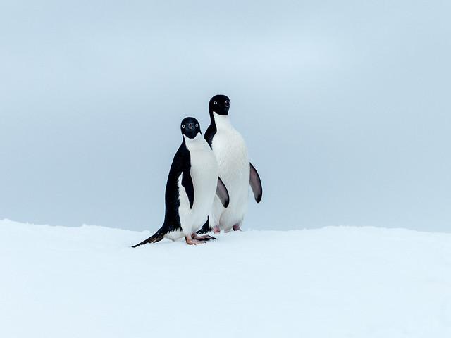 Adelie Penguins P1020926
