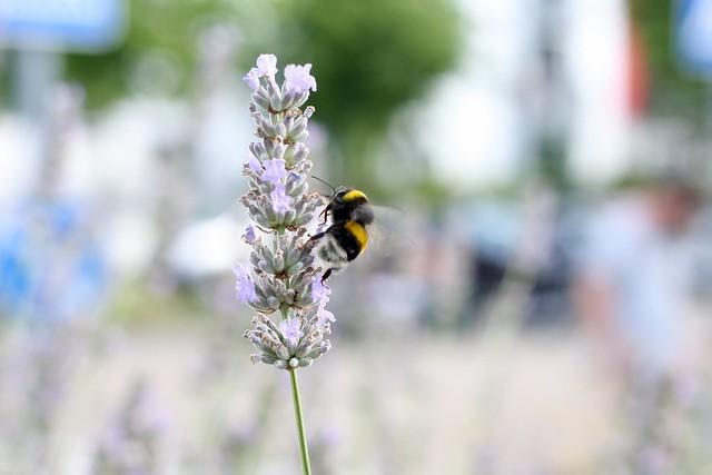Bumblebee on lavender II
