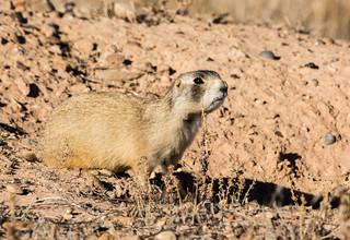 Utah Prairie Dog  Prairie Dogs Are In The Squirrel Family