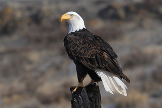 Bald Eagle | by U.S. Fish and Wildlife Service - Midwest Region
