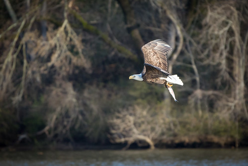 Bald Eagle Catching Fish on James River | by curtisWarwick