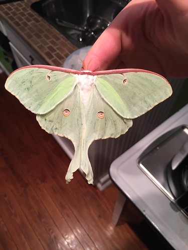 A large moth with small eye like dots on its wings and a forked tail.