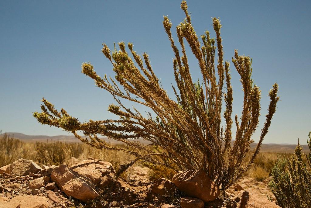 Planta Del Desierto Tola Fabiana Ramulosa Camino A El