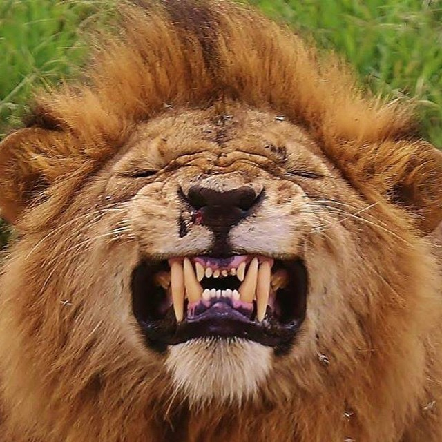 #scared #angry #feeling #hungry #cry #emotion #lion ...