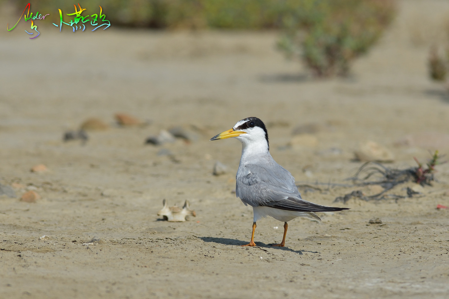 Little_Tern_2529