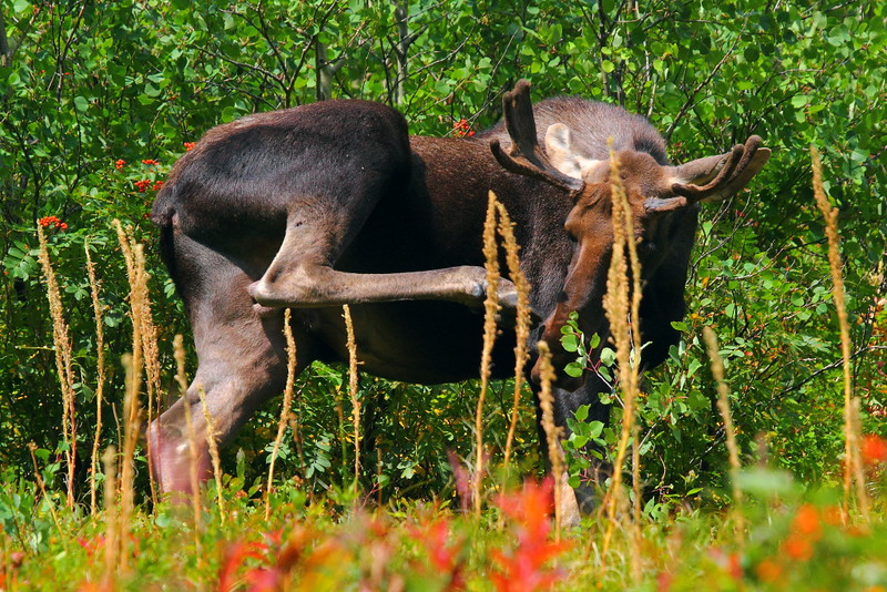 IMG_2186 Bull Moose on Swiftcurrent Pass Trail