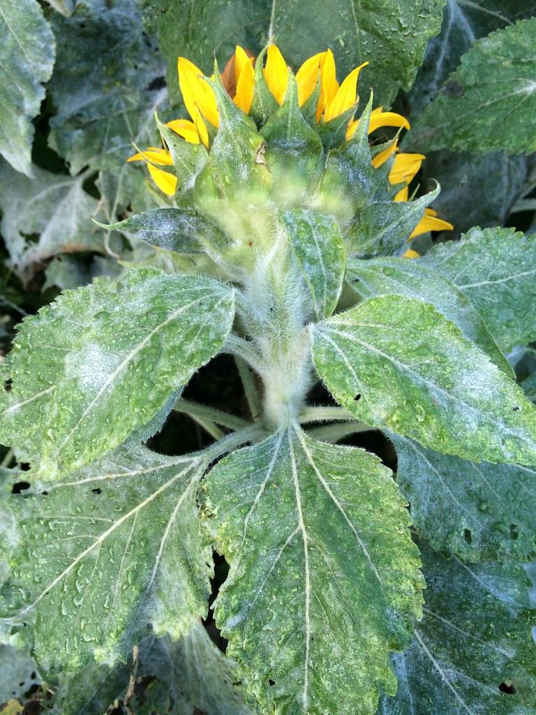 Sunflower Powdery Mildew Host Helianthus Annuus Pathogen Flickr