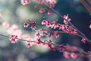Pink flowers (Explore 2015-03-18)