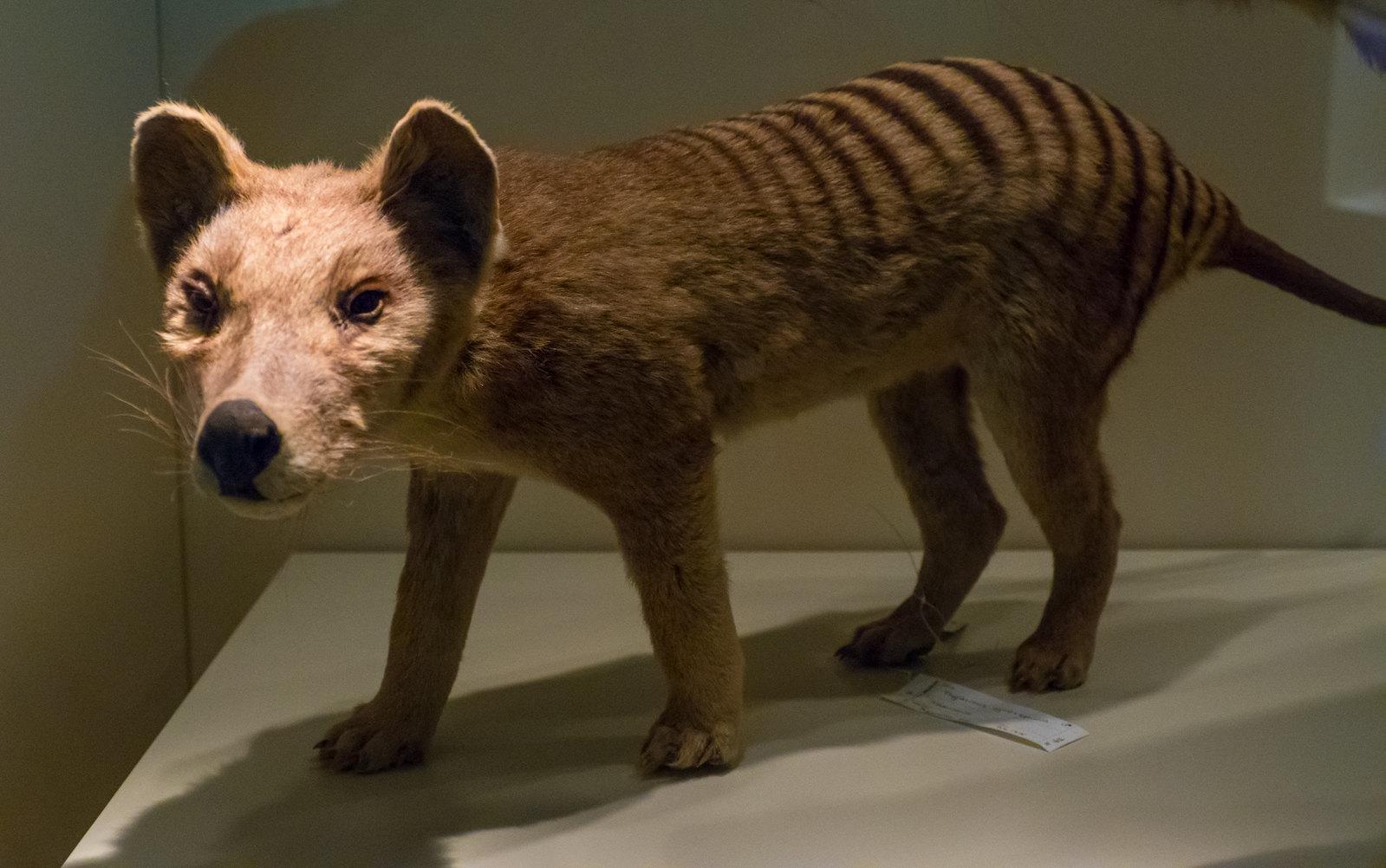 Young Thylacine (Thylacinus cynocephalus)
