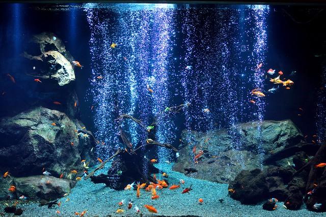 足立区生物園_金魚