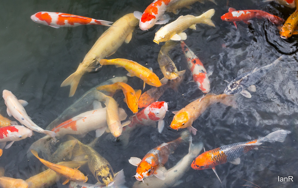 Big fish in a big pond japanese ornamental fish beg for Japanese ornamental fish