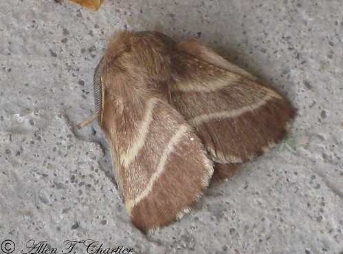 Malacosoma americanum (Eastern Tent Caterpillar Moth)