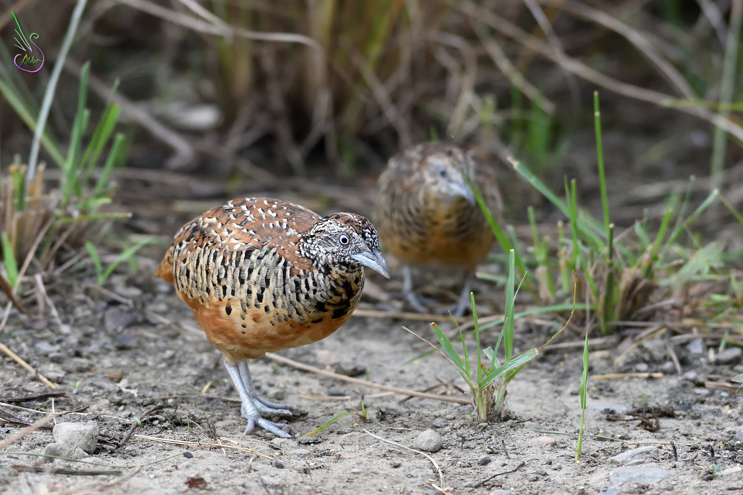 Barred_Buttonquail_1733
